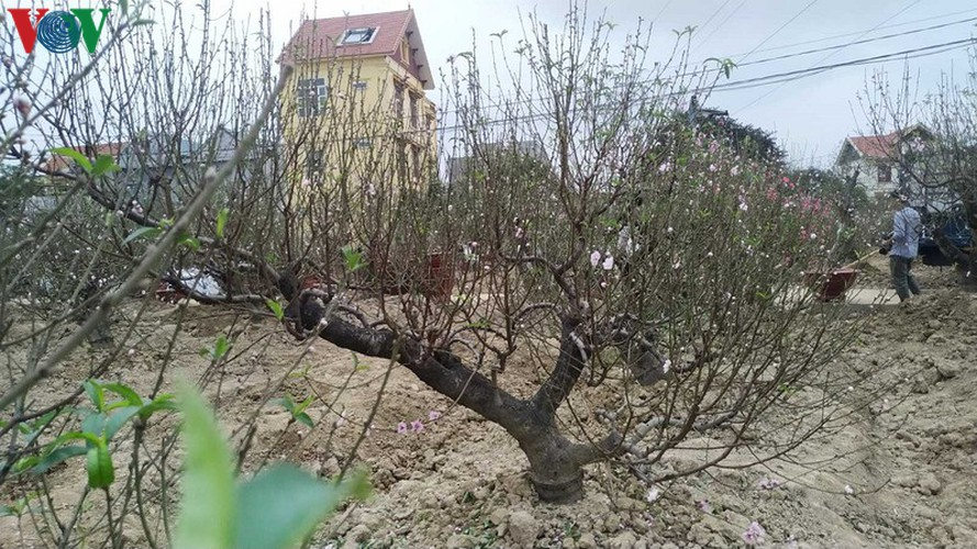ancient peach growing village in hai phong prepares for tet rush hinh 5