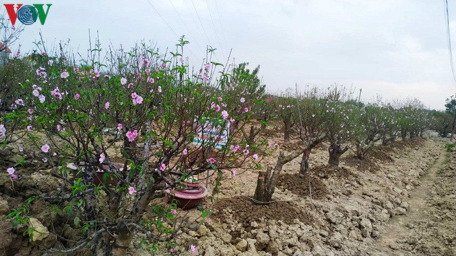 ancient peach growing village in hai phong prepares for tet rush hinh 9