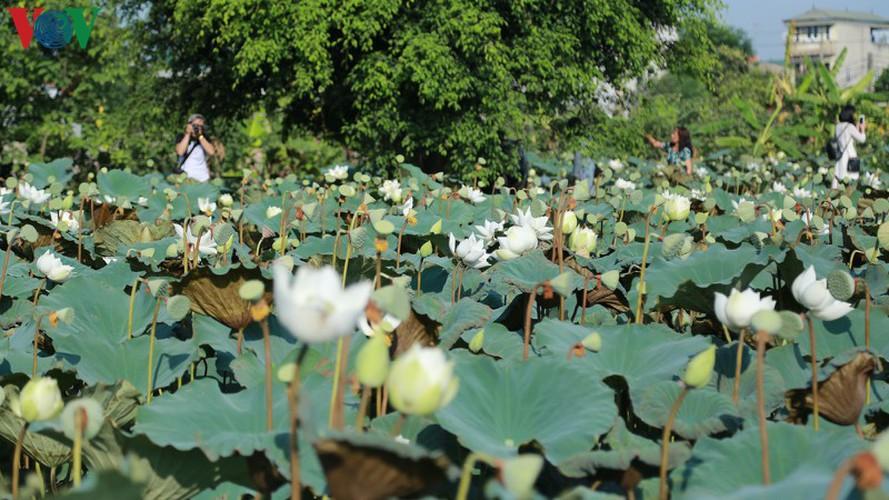 hanoi sees hordes of people flock to white lotus flower pond hinh 1