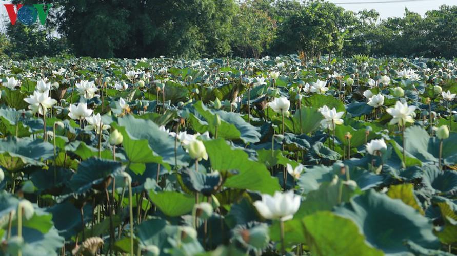 hanoi sees hordes of people flock to white lotus flower pond hinh 2