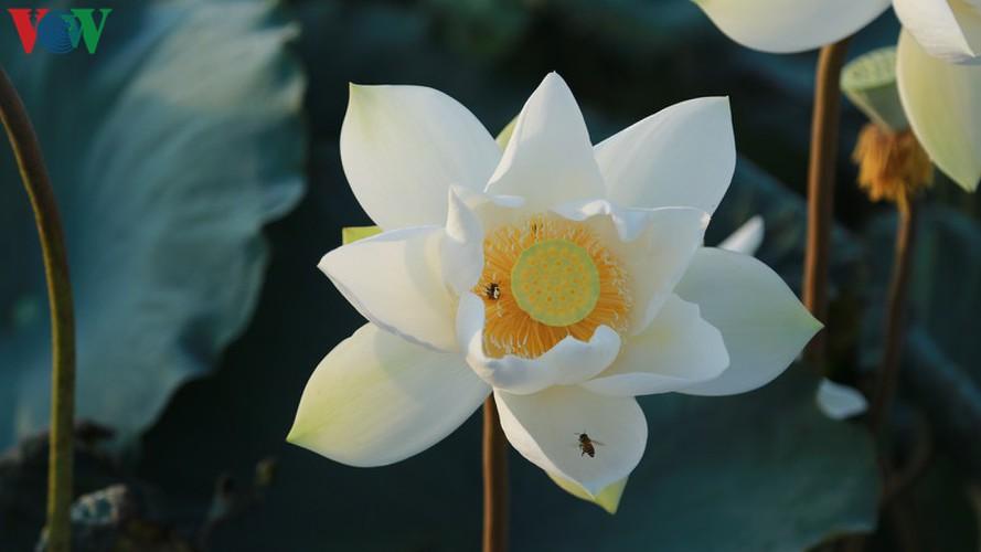 hanoi sees hordes of people flock to white lotus flower pond hinh 3