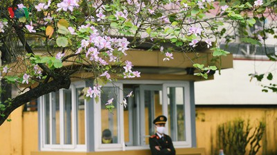 Hanoi streets adorned with Ban flowers in full bloom