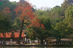 Stunning red silk cotton trees spotted around old pagoda