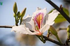 Ban – signature flower of Vietnam's northwestern mountain region