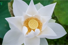 Hanoi enjoys charming beauty of white lotus flowers in full bloom