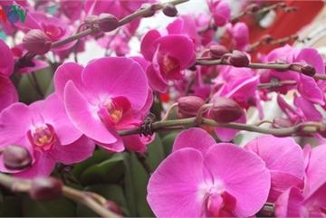 Expensive orchid pots prove popular among customers ahead of Tet