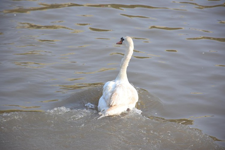 65 pairs of swans released into hai phong river hinh 5