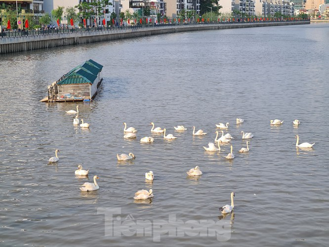 65 pairs of swans released into hai phong river hinh 7