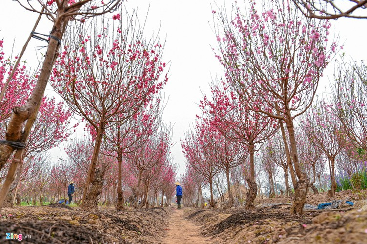 a view of the spectacular peach blossoms in nhat tan flower village hinh 2