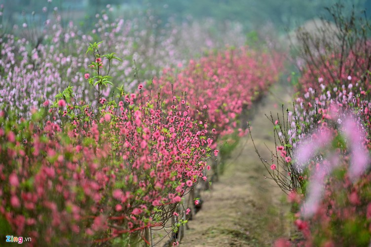 a view of the spectacular peach blossoms in nhat tan flower village hinh 3