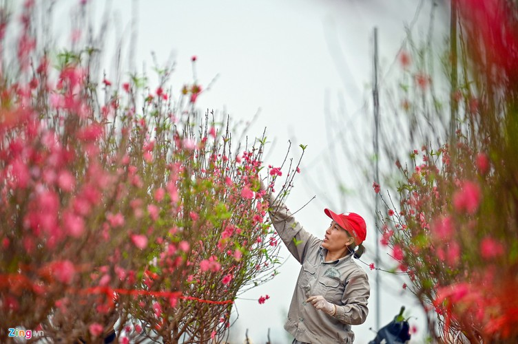 a view of the spectacular peach blossoms in nhat tan flower village hinh 4