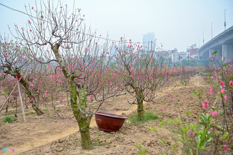 a view of the spectacular peach blossoms in nhat tan flower village hinh 7