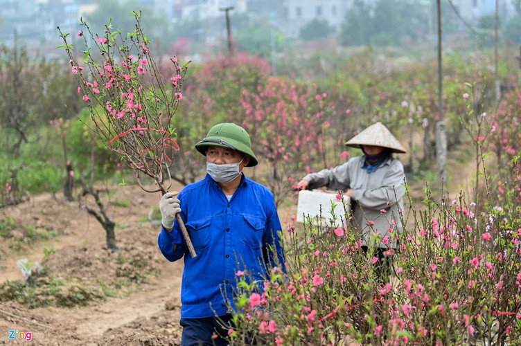 a view of the spectacular peach blossoms in nhat tan flower village hinh 9