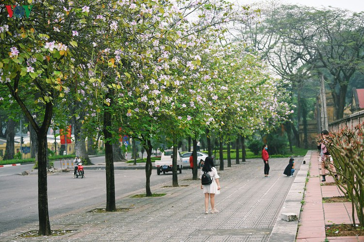 hanoi streets adorned with ban flowers in full bloom hinh 10