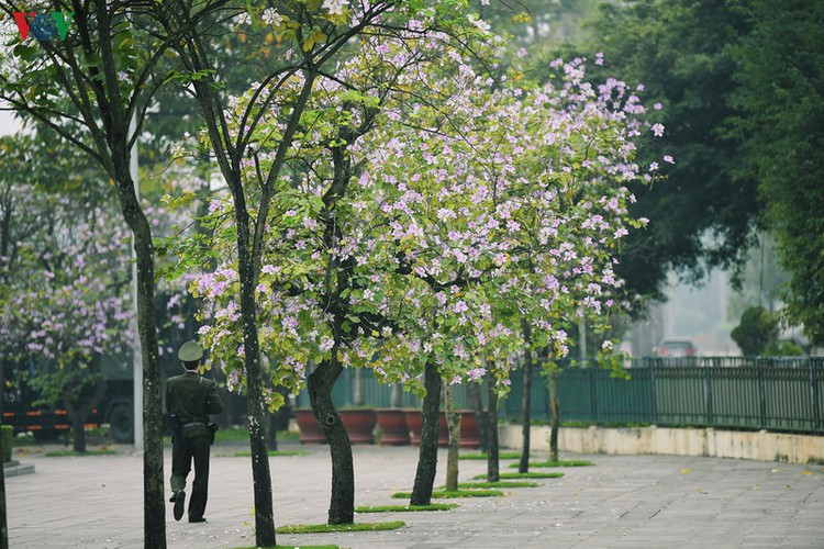 hanoi streets adorned with ban flowers in full bloom hinh 11
