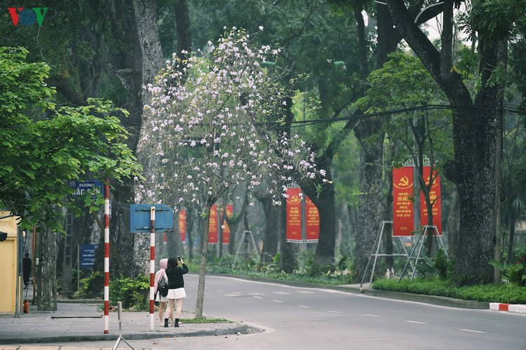hanoi streets adorned with ban flowers in full bloom hinh 12