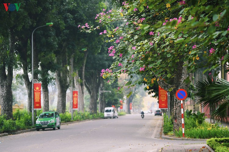 hanoi streets adorned with ban flowers in full bloom hinh 13