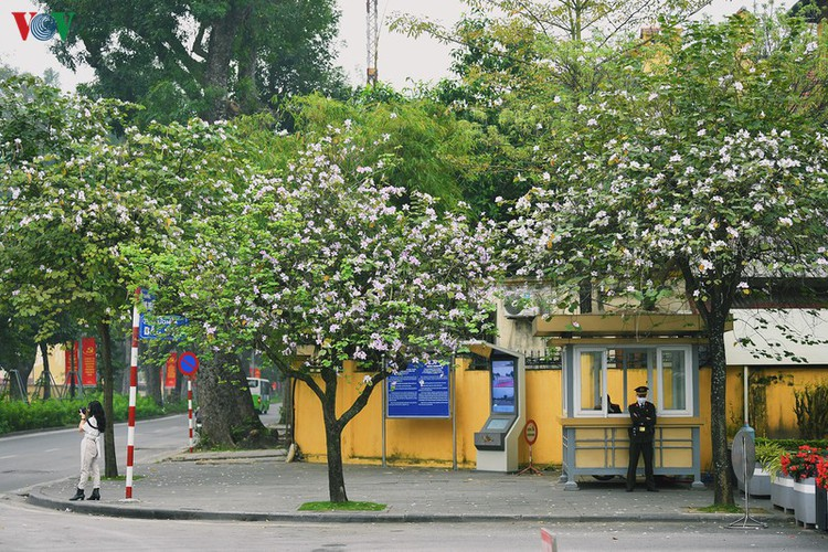 hanoi streets adorned with ban flowers in full bloom hinh 1