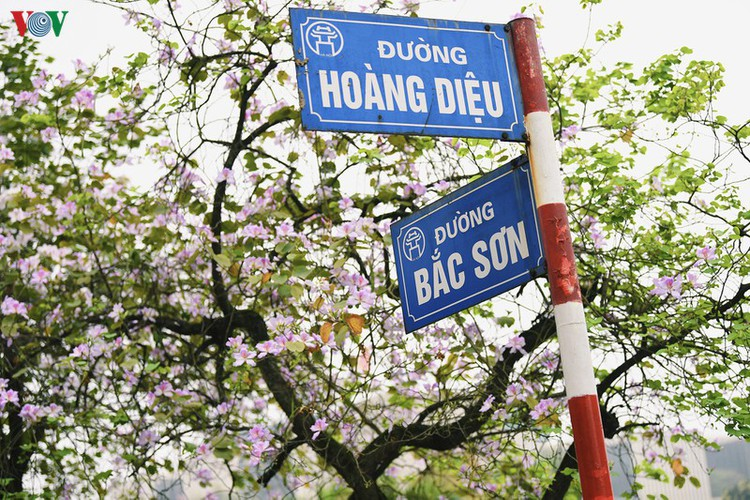 hanoi streets adorned with ban flowers in full bloom hinh 2