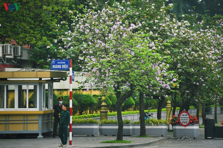 hanoi streets adorned with ban flowers in full bloom hinh 3