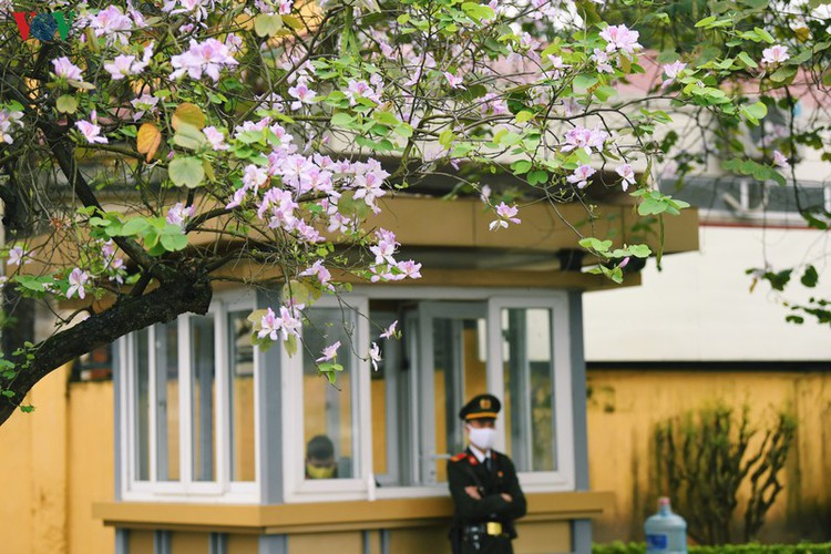 hanoi streets adorned with ban flowers in full bloom hinh 4