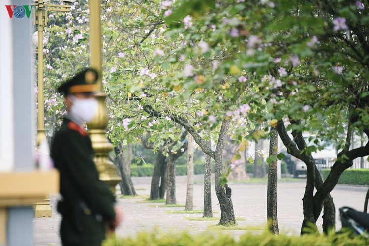hanoi streets adorned with ban flowers in full bloom hinh 5