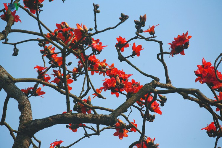 stunning red silk cotton trees spotted around old pagoda hinh 9