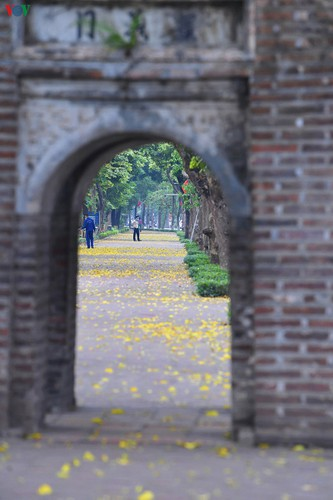 summer looms as hanoi streets are covered in falling yellow leaves hinh 12