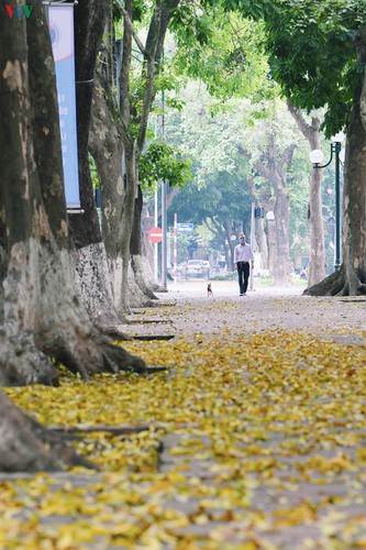 summer looms as hanoi streets are covered in falling yellow leaves hinh 14