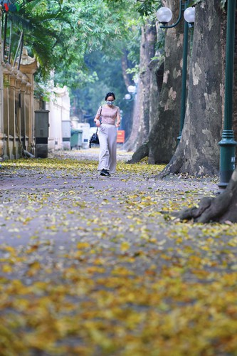 summer looms as hanoi streets are covered in falling yellow leaves hinh 15