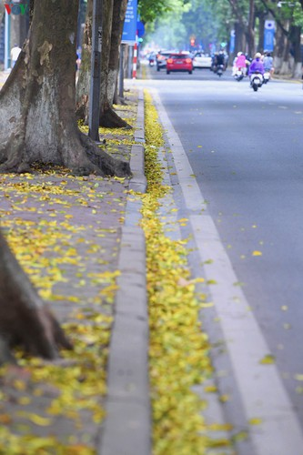 summer looms as hanoi streets are covered in falling yellow leaves hinh 16