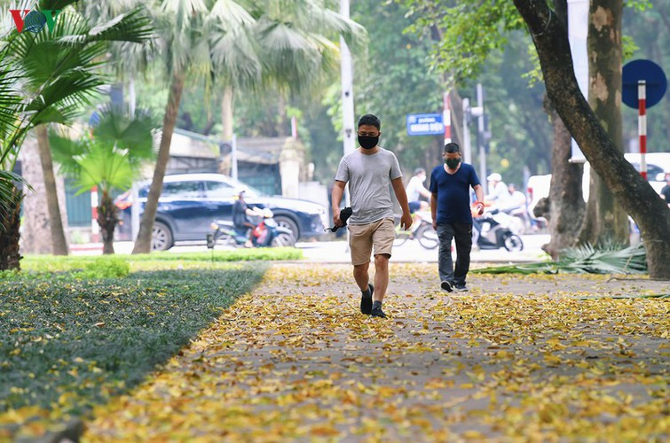 summer looms as hanoi streets are covered in falling yellow leaves hinh 17