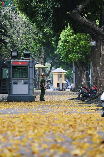 summer looms as hanoi streets are covered in falling yellow leaves hinh 1