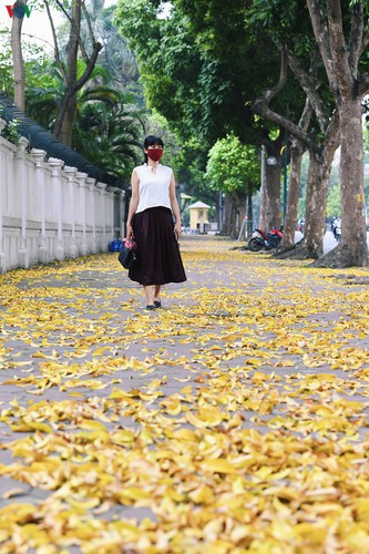 summer looms as hanoi streets are covered in falling yellow leaves hinh 2