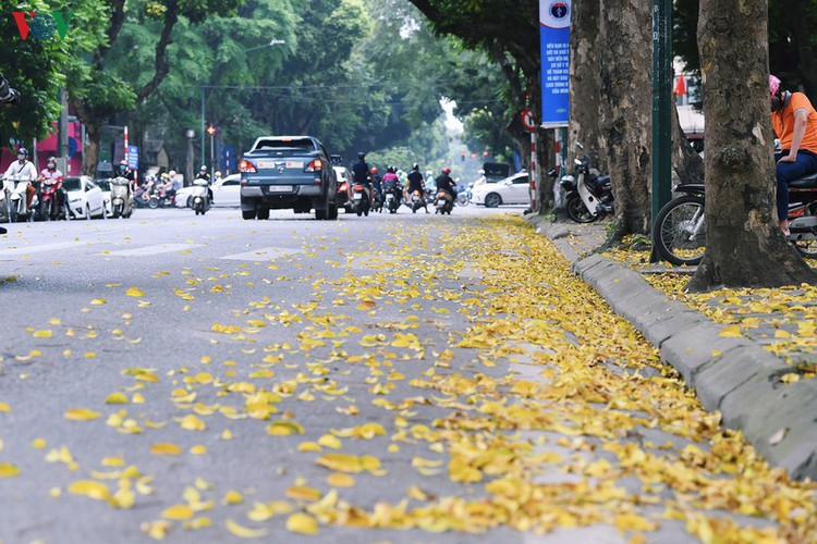 summer looms as hanoi streets are covered in falling yellow leaves hinh 3