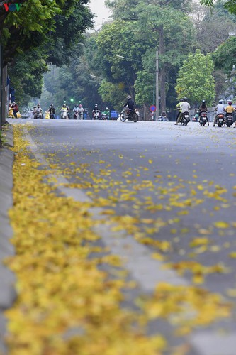 summer looms as hanoi streets are covered in falling yellow leaves hinh 4