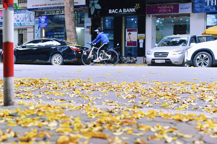 summer looms as hanoi streets are covered in falling yellow leaves hinh 5