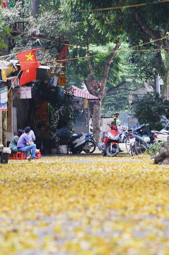 summer looms as hanoi streets are covered in falling yellow leaves hinh 6