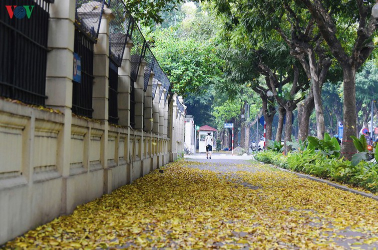 summer looms as hanoi streets are covered in falling yellow leaves hinh 7