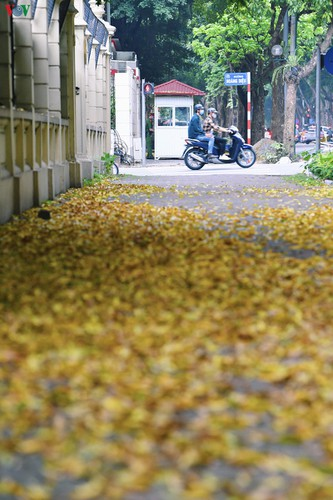 summer looms as hanoi streets are covered in falling yellow leaves hinh 8