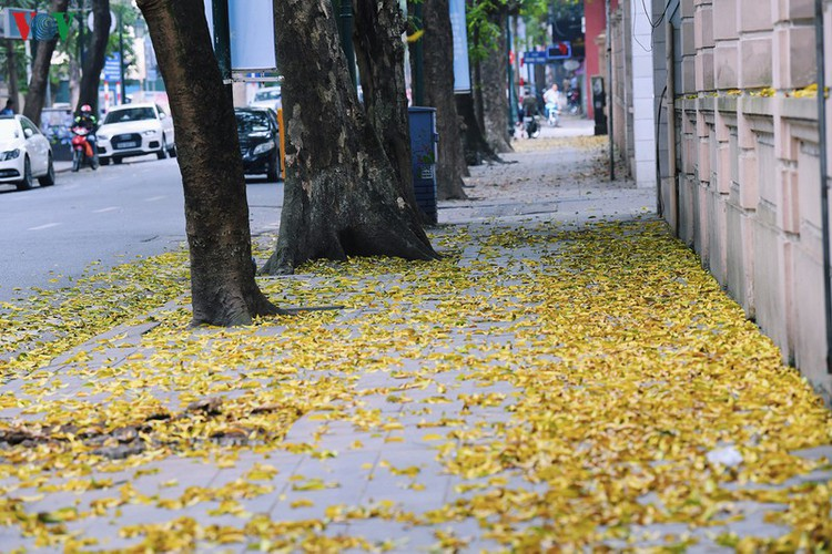 summer looms as hanoi streets are covered in falling yellow leaves hinh 9