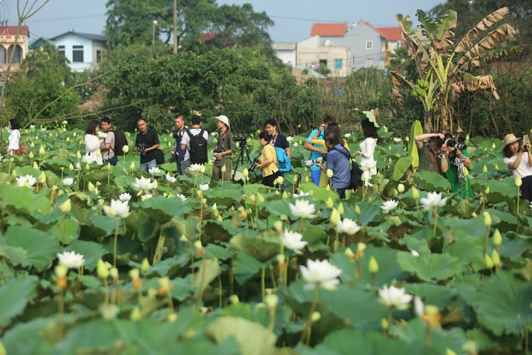 charming white lotus flowers spotted in bloom on outskirts of hanoi hinh 11