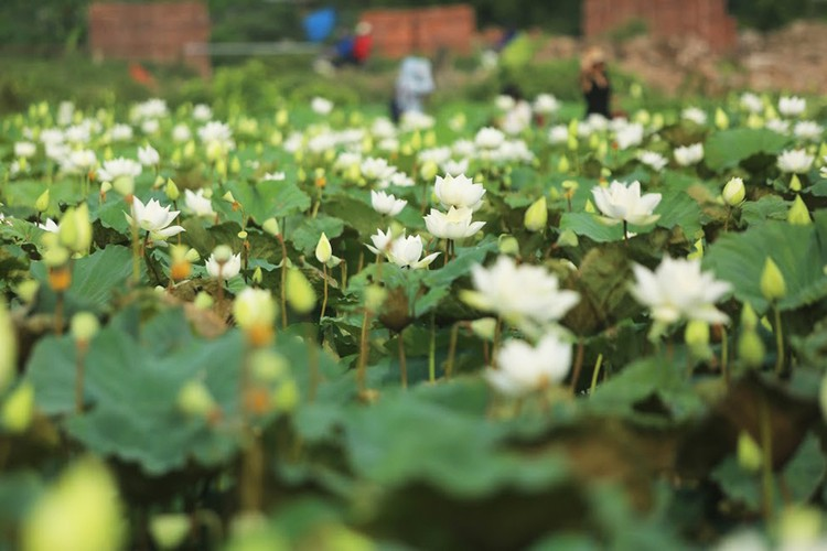 charming white lotus flowers spotted in bloom on outskirts of hanoi hinh 1