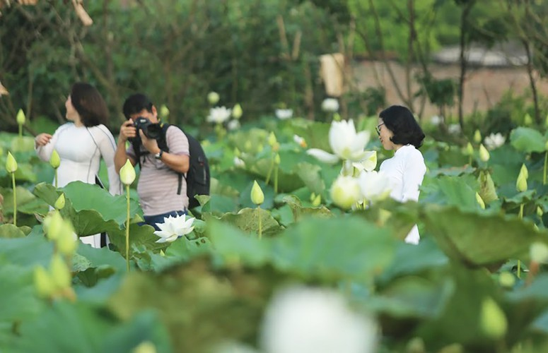 charming white lotus flowers spotted in bloom on outskirts of hanoi hinh 2