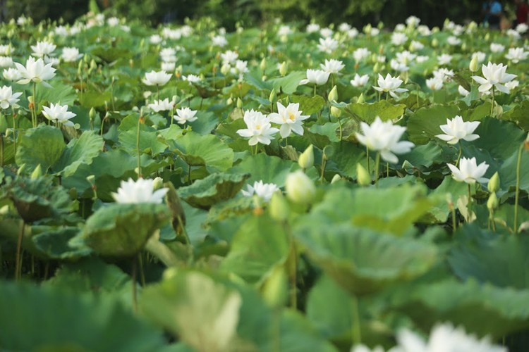 charming white lotus flowers spotted in bloom on outskirts of hanoi hinh 4