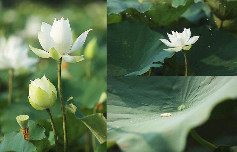 charming white lotus flowers spotted in bloom on outskirts of hanoi hinh 5