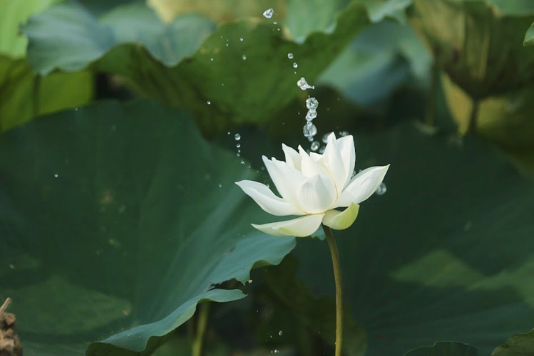charming white lotus flowers spotted in bloom on outskirts of hanoi hinh 6