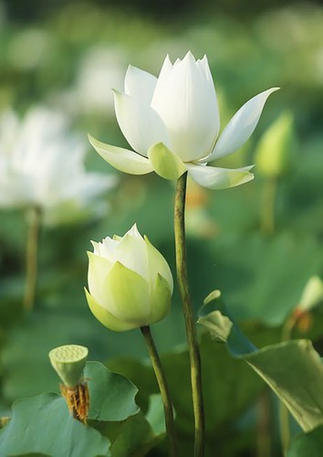 charming white lotus flowers spotted in bloom on outskirts of hanoi hinh 7