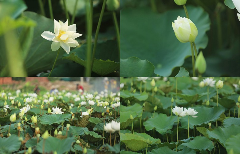 charming white lotus flowers spotted in bloom on outskirts of hanoi hinh 8
