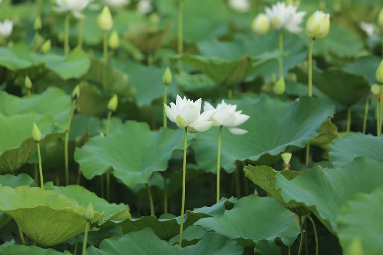 charming white lotus flowers spotted in bloom on outskirts of hanoi hinh 9